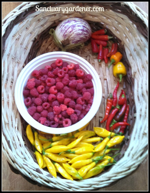 Listada de Gandia eggplant, fish peppers, mini yellow stuffing peppers, cayenne peppers, lemon drop peppers, Caroline raspberries