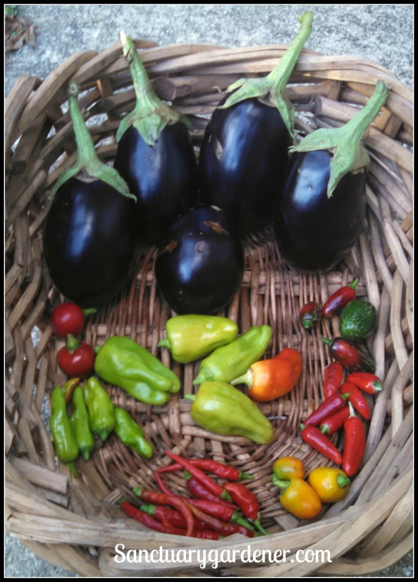 Black beauty eggplant, jalapenos, fish peppers, mini yellow stuffing peppers, cayenne peppers, pepperoncini, rocoto peppers. In the center: cubanelle peppers