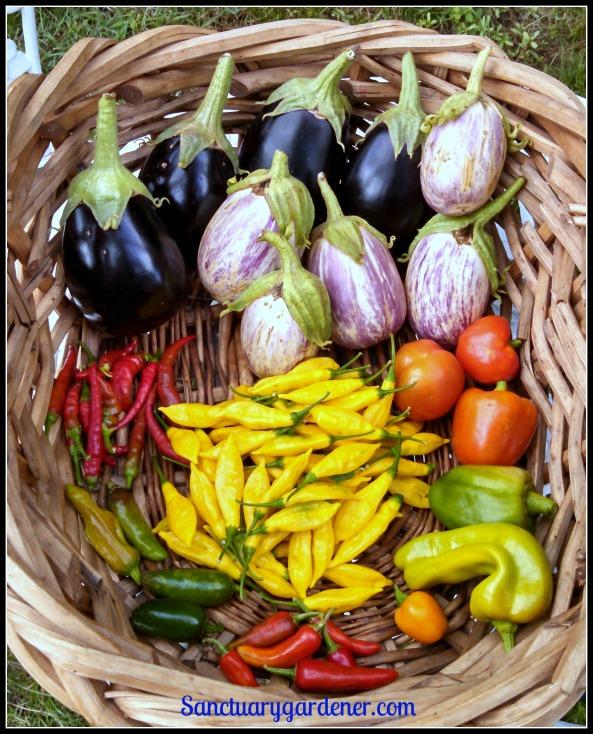 Black beauty eggplant, Listada de Gandia eggplant, red bell peppers,