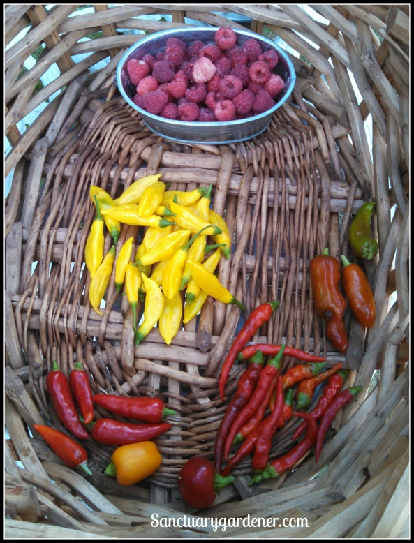 Caroline raspberries, pepperoncini, cayenne peppers, mini yellow stuffing pepper, fish peppers, lemon drop peppers