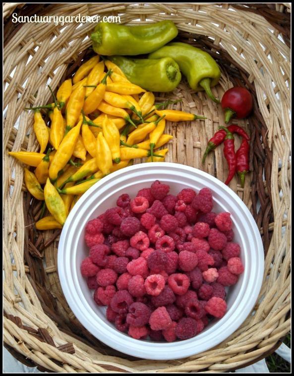 Cubanelle peppers, my mystery hot pepper, cayenne peppers, Caroline raspberries, lemon drop peppers