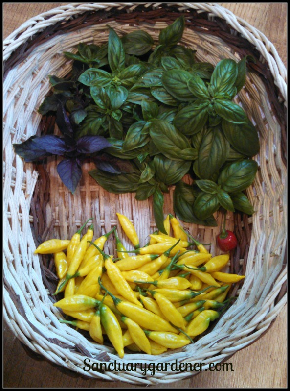 Purple & Genovese basil, rocoto pepper, lemon drop peppers