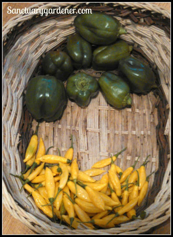 Giant Emerald green bell peppers & lemon drop peppers