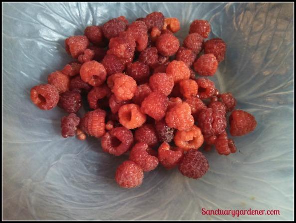 Caroline raspberries