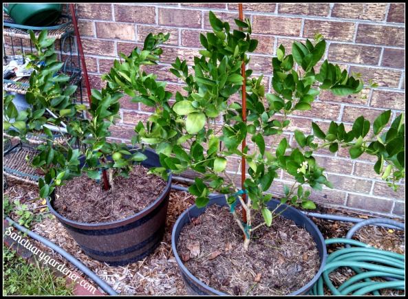 Key lime trees ~ pruned & staked