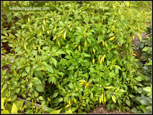 Lemon drop pepper plants