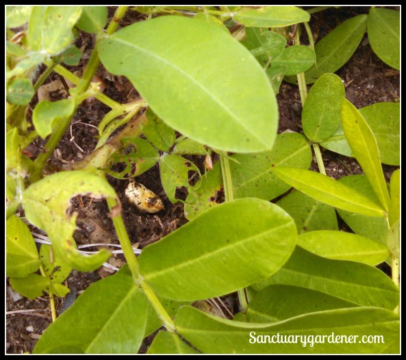 Peanut growing