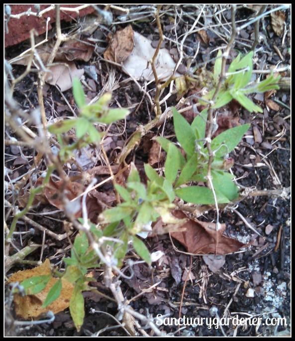 New leaves on petunias