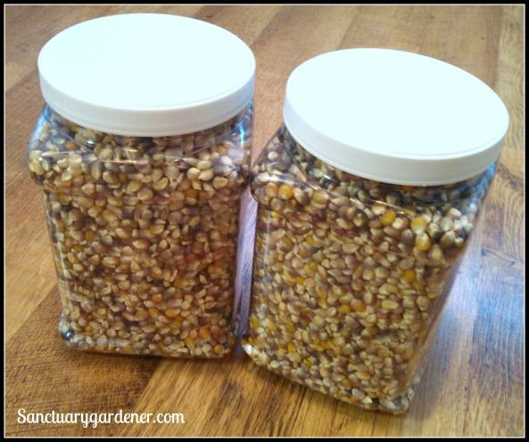 Glass Gem popcorn harvest 2014