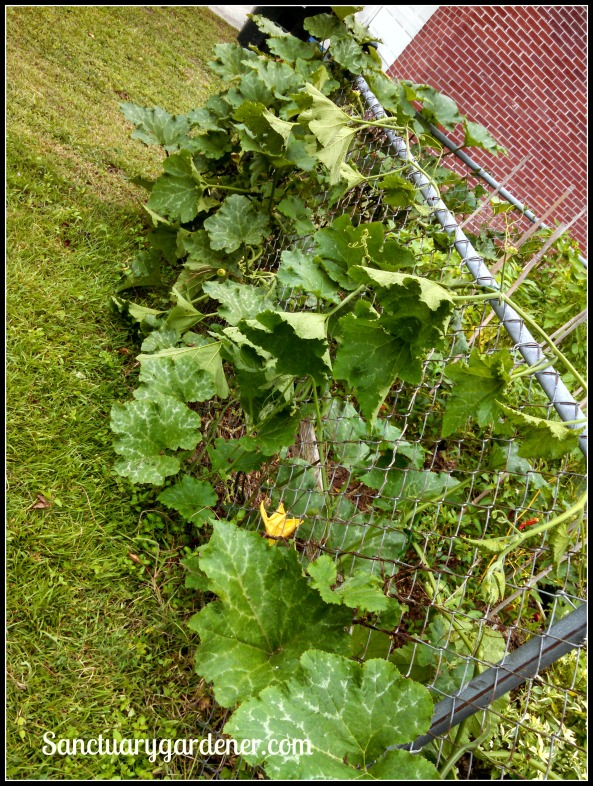 Pumpkin vines growing up my front fence