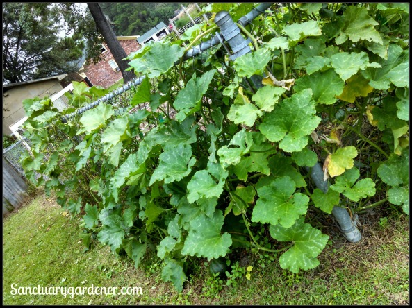 Pumpkin vine growing on my side fence