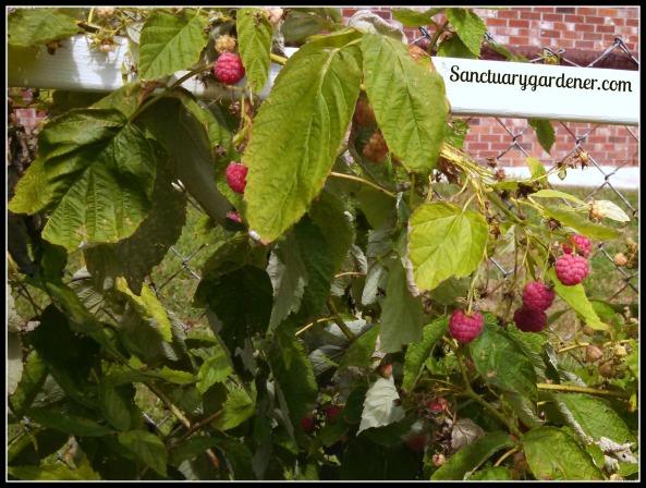 Raspberries ripening