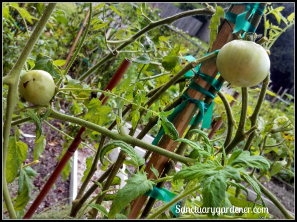 Wisconsin tomatoes