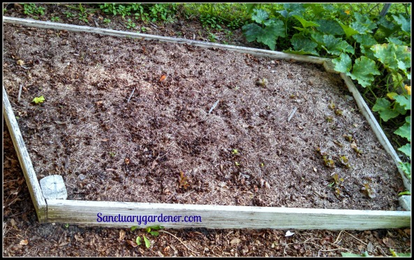 Bed 1 in October ~ Lettuce