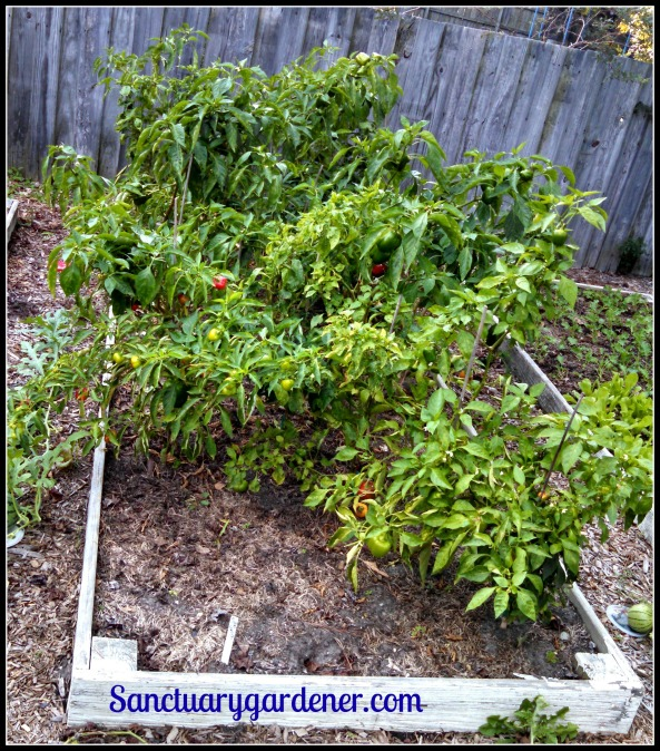 Bed 9 in October ~ Sweet peppers