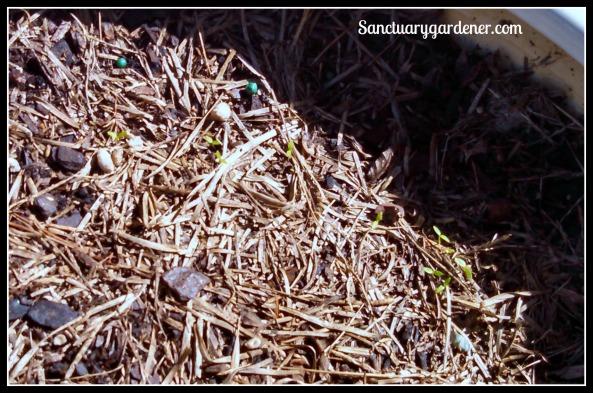 Celery seedlings ~ 2 weeks after planting