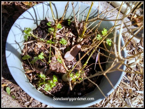 Curly parsley seedlings