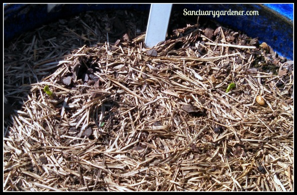 Dwarf gray peas sprouting ~ 7 days after planting