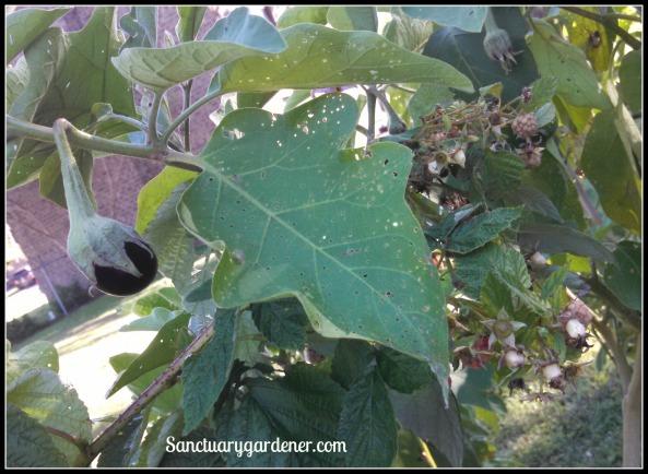 Black Beauty eggplant & Caroline raspberries