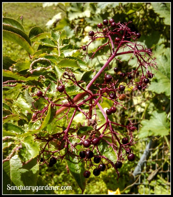 Elderberries almost ripe