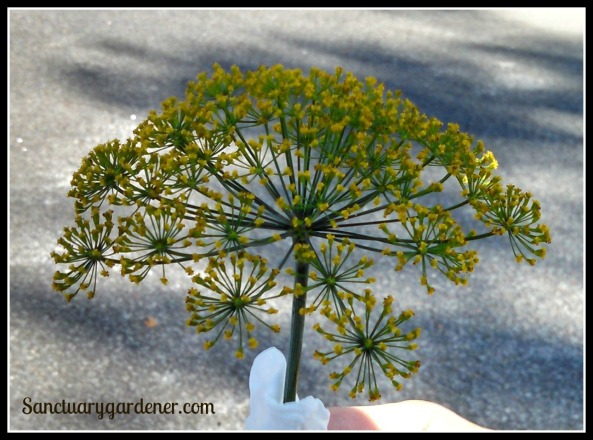 Fernleaf dill head