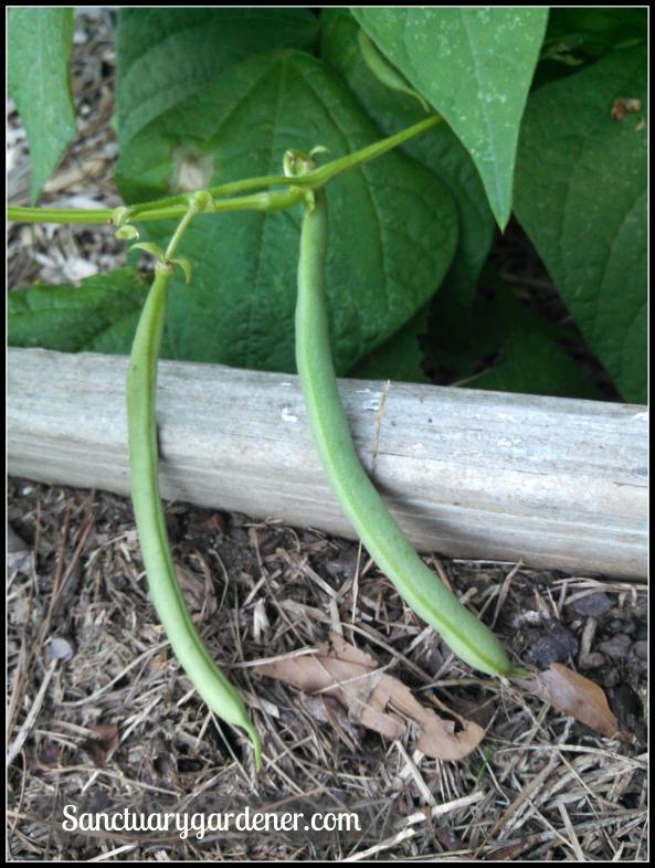 Black Valentine green beans