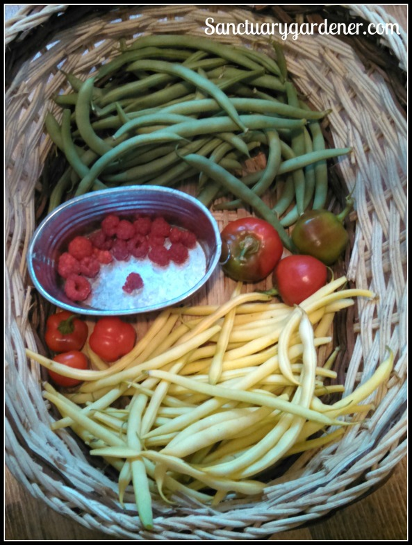 Black Valentine green beans, red bell peppers, Beurre de Rocquencourt wax beans, mini red bell peppers, Caroline raspberries