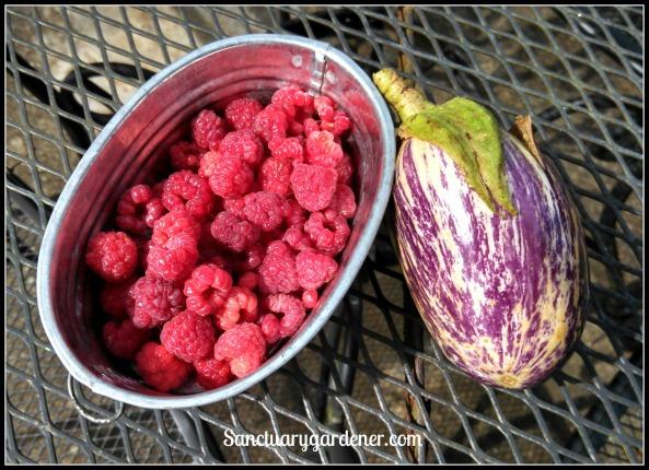 Caroline raspberries & Listada de Gandia eggplant