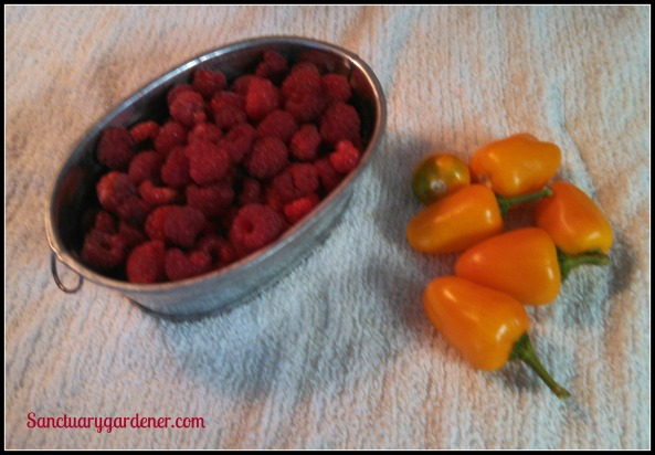Caroline raspberries & mini yellow stuffing peppers