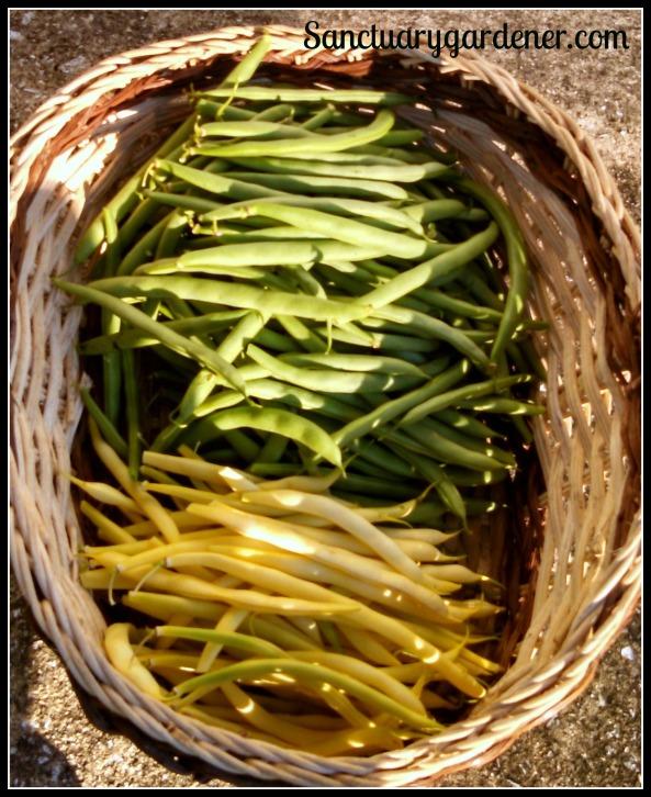 Black Valentine green beans & Buerre de Rocquencourt wax beans