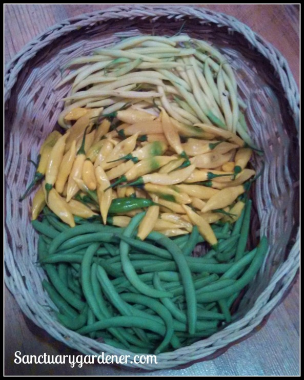 Beurre de Rocquencourt wax beans, lemon drop peppers, Black Valentine green beans