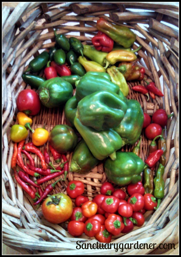 Jalapenos, cubanelle peppers, fish peppers, my mystery hot peppers, pepperoncini, mini red bell peppers, Wisconsin tomato, cayenne peppers, mini yellow stuffing peppers, red bell pepper. In the center: Emerald Giant green bell peppers