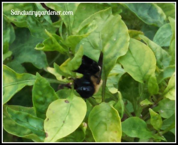 Injured bumblebee