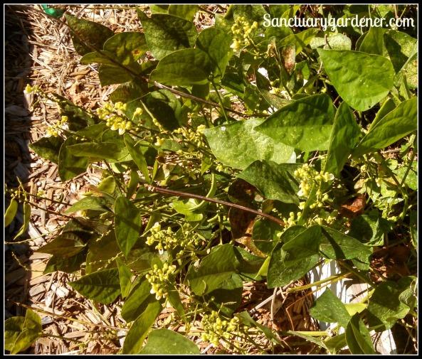 Lima beans flowering