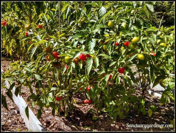 Mini red bell pepper plant