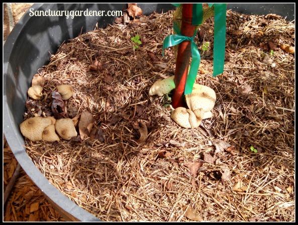 Mushrooms in key lime pot