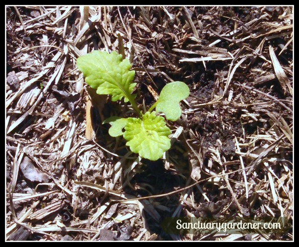 Mustard greens seedling ~ 2 weeks after planting