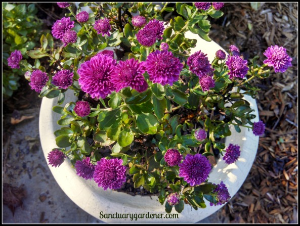 Purple chrysanthemums
