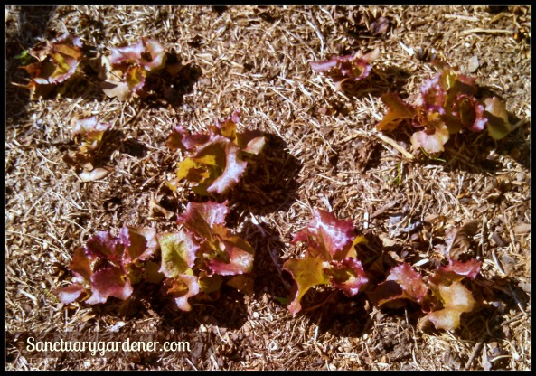 Red sails lettuce ~ 5 weeks after planting