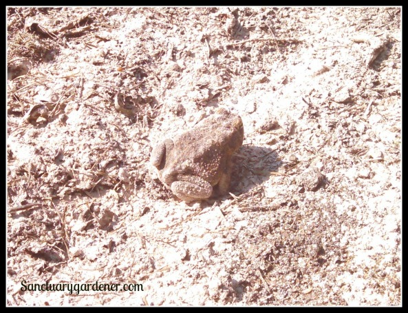 Toad covered with Azomite (rock dust)