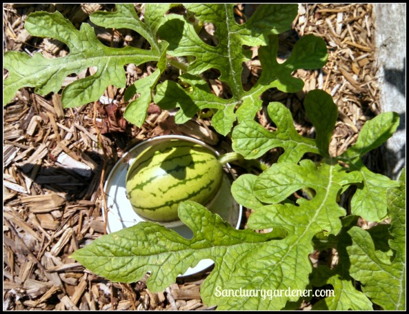Early Moonbeam watermelon growing