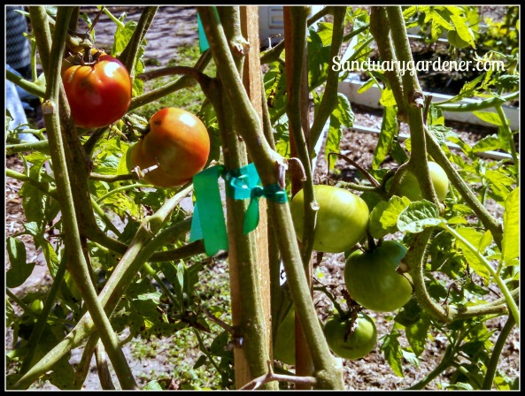 Wisconsin tomatoes ~ in October!