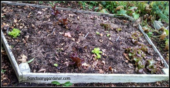 Bed 1 in November ~ Lettuce