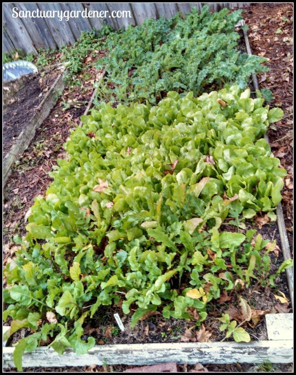 Bed 10 in November ~ Kale, escarole & arugula