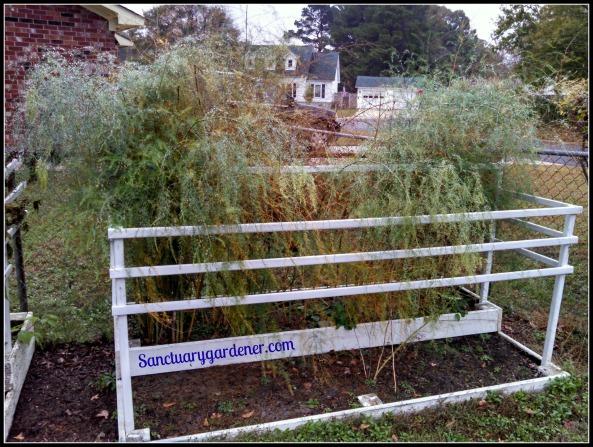 Bed 14 in November ~ Asparagus