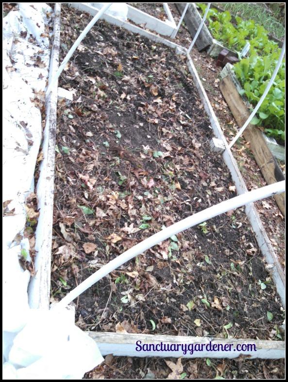 Bed 17 in November ~ Fallow, awaiting turnip & radish seed