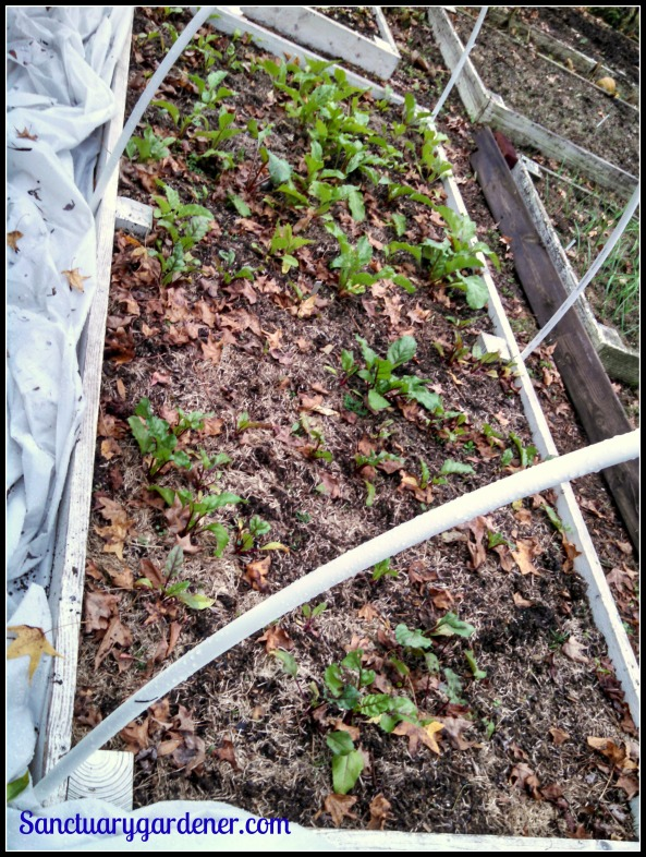 Bed 18 in November ~ Beets
