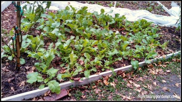 Bed 20 in November ~ Turnips