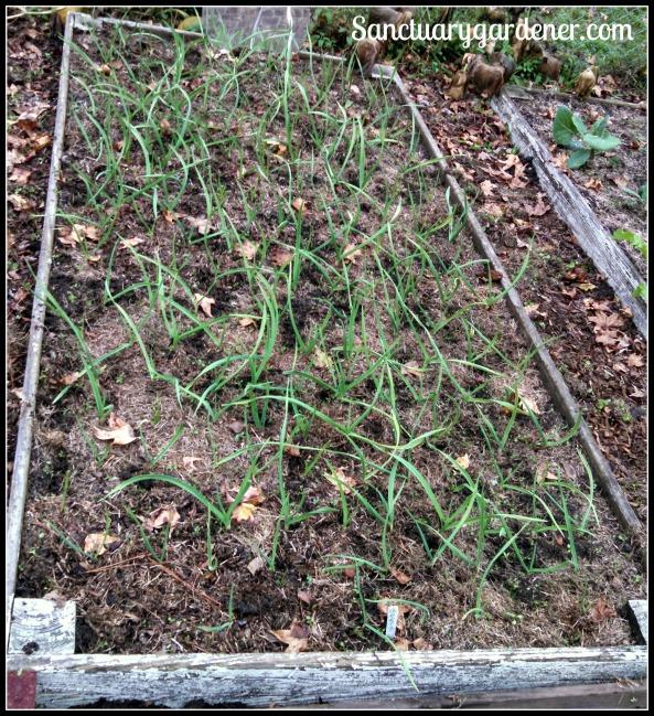 Bed 5 in November ~ Garlic