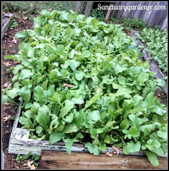 Bed 7 in November ~ Turnips & radishes